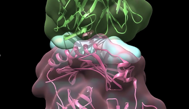 Everyone produces T cells that can recognize ApoB, the protein backbone of LDL cholesterol. The image shows a close-up of a T cell receptor (green) and an MHC molecule (pink) presenting a fragment of an ApoB molecule (light blue). Image courtesy of the Ley Lab, La Jolla Institute for Immunology.