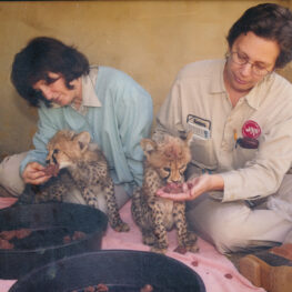 Zookeeper Karen Barnes and coworker Mary hand-feed meat to cheetah cubs