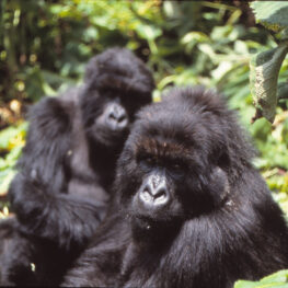 A mountain gorilla named Tuck looks at camera, Pablo behind.
