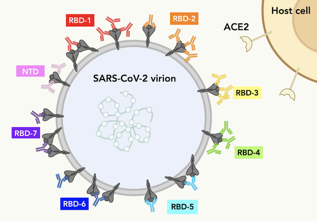 This illustration shows a series of Spike proteins on the surface of SARS-CoV-2. Antibodies in each color represent the possible IgG-Spike binding patterns for each RBD community. Reprinted with permission from Hastie et al., Science (2021)
